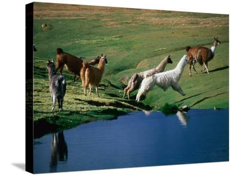 Llamas Leaping Over Spring Fed Water, Volcan Isluga National Park, Chile-Aaron McCoy-Stretched Canvas Print