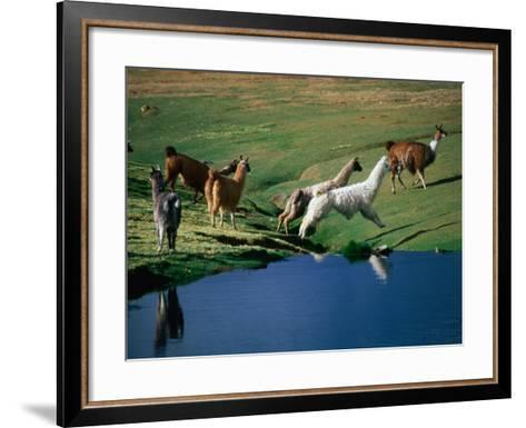 Llamas Leaping Over Spring Fed Water, Volcan Isluga National Park, Chile-Aaron McCoy-Framed Art Print