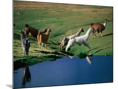 Llamas Leaping Over Spring Fed Water, Volcan Isluga National Park, Chile-Aaron McCoy-Mounted Photographic Print