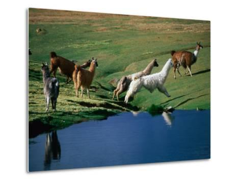 Llamas Leaping Over Spring Fed Water, Volcan Isluga National Park, Chile-Aaron McCoy-Metal Print
