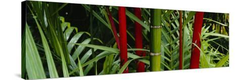 Bamboo Trees, Hawaii, USA--Stretched Canvas Print