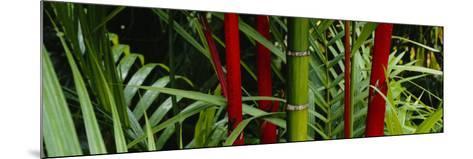 Bamboo Trees, Hawaii, USA--Mounted Photographic Print