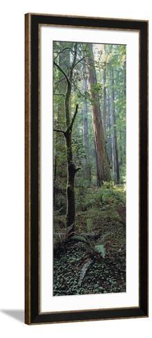 Tree Trunks, Redwood State Park, Humboldt County, California, USA--Framed Art Print