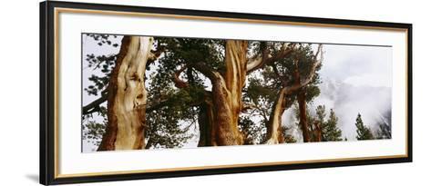 Pine Trees in the Forest, Californian Sierra Nevada, California, USA--Framed Art Print