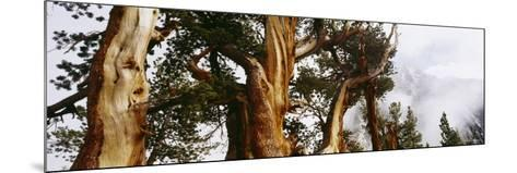 Pine Trees in the Forest, Californian Sierra Nevada, California, USA--Mounted Photographic Print
