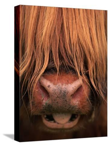 Highland Cattle, Head Close-Up, Scotland-Niall Benvie-Stretched Canvas Print