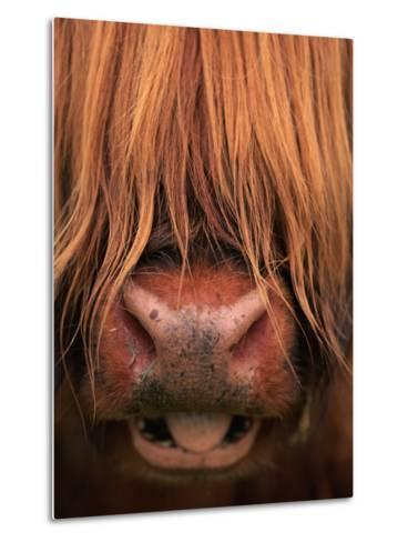 Highland Cattle, Head Close-Up, Scotland-Niall Benvie-Metal Print