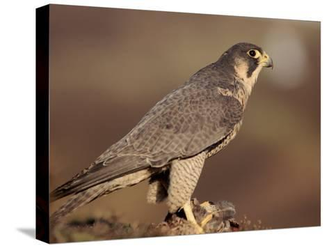 Peregrine Falcon Female (Falco Peregrinus), Subspecies Brookei from Southern Europe-Niall Benvie-Stretched Canvas Print