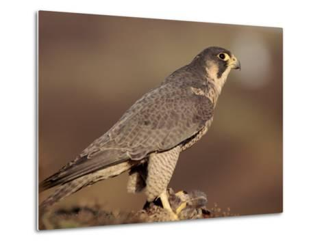Peregrine Falcon Female (Falco Peregrinus), Subspecies Brookei from Southern Europe-Niall Benvie-Metal Print