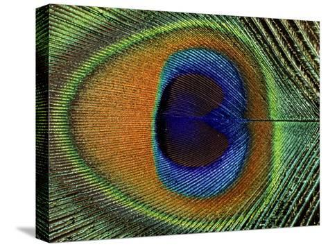 Close-Up of the Eye of a Peacock Feather, (Pavo Cristatus)-Ashok Jain-Stretched Canvas Print