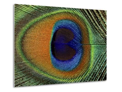 Close-Up of the Eye of a Peacock Feather, (Pavo Cristatus)-Ashok Jain-Metal Print