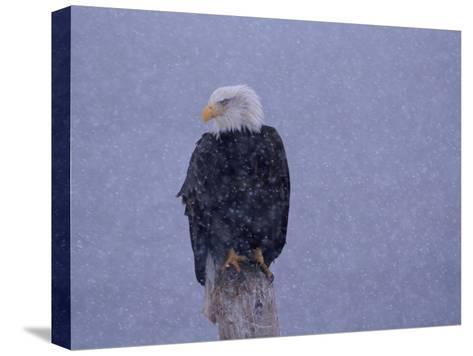American Bald Eagle in Snow, Alaska-Lynn M^ Stone-Stretched Canvas Print