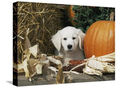 Golden Retriever Puppy (Canis Familiaris) Portrait with Pumpkin-Lynn M^ Stone-Stretched Canvas Print