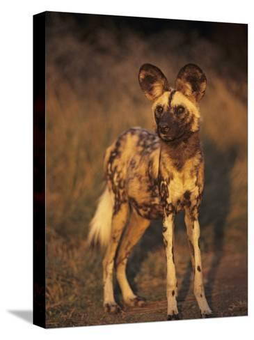 Arican Wild Dog Portrait (Lycaon Pictus) De Wildt, S. Africa-Tony Heald-Stretched Canvas Print