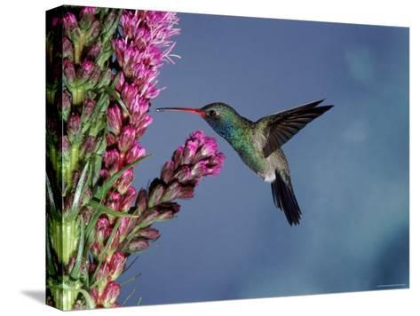 Broad Billed Hummingbird (Cynanthus Latirostris) Az, USA Madera Canyon, Arizona-Mary Mcdonald-Stretched Canvas Print