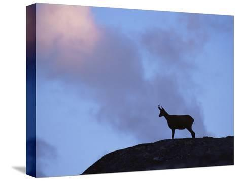 Chamois (Rupicapra Rupicapra) Silhouetted, Gran Paradiso National Park, Italy-Tim Edwards-Stretched Canvas Print