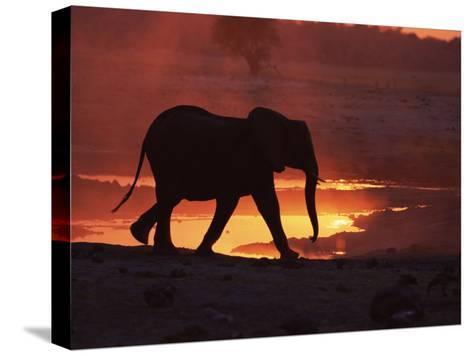 African Elephant, at Sunset Chobe National Park, Botswana-Tony Heald-Stretched Canvas Print