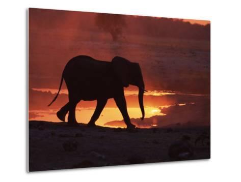 African Elephant, at Sunset Chobe National Park, Botswana-Tony Heald-Metal Print