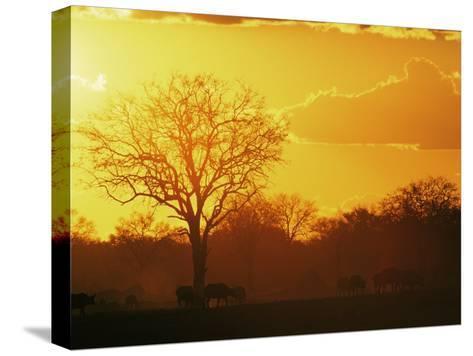 African Buffalo, Feeding at Sunset, Hwange National Park, Zimbabwe-Pete Oxford-Stretched Canvas Print