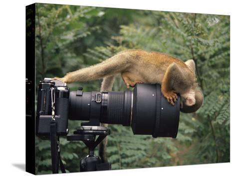 Squirrel Monkey, Investigates Camera, Amazonia, Ecuador-Pete Oxford-Stretched Canvas Print
