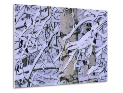 Snow Covered Birch Trees, Bavaria, Germany-Martin Gabriel-Metal Print