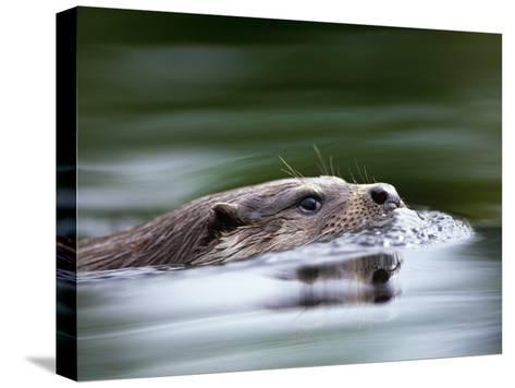 European River Otter Swimming, Otterpark Aqualutra, Leeuwarden, Netherlands-Niall Benvie-Stretched Canvas Print