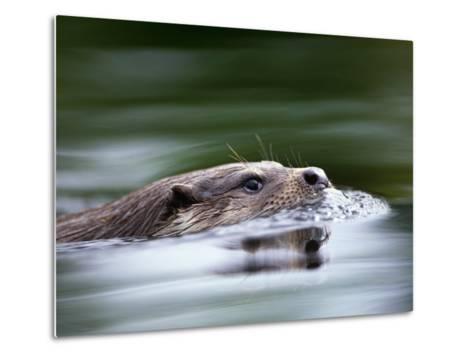 European River Otter Swimming, Otterpark Aqualutra, Leeuwarden, Netherlands-Niall Benvie-Metal Print