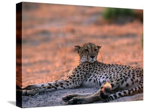 Cheetah Resting, Okavango Delta, Botswana-Pete Oxford-Stretched Canvas Print