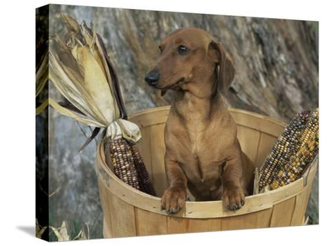 Smooth Haired Dachshund Dog (Canis Familiaris)-Lynn M^ Stone-Stretched Canvas Print