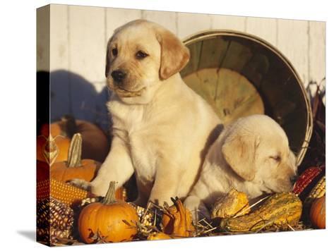 Golden Labrador Retriever Puppies, USA-Lynn M^ Stone-Stretched Canvas Print