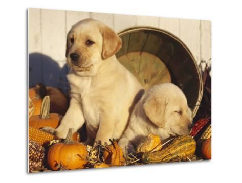 Golden Labrador Retriever Puppies, USA-Lynn M^ Stone-Metal Print