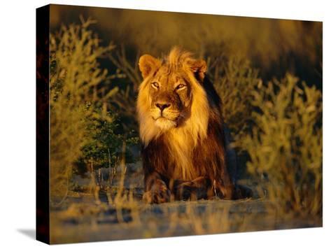 Lion Male, Kalahari Gemsbok, South Africa-Tony Heald-Stretched Canvas Print