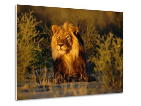 Lion Male, Kalahari Gemsbok, South Africa-Tony Heald-Metal Print