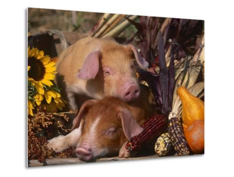 Domestic Piglets, Resting Amongst Vegetables, USA-Lynn M^ Stone-Metal Print