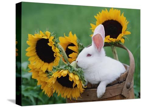 New Zealand Rabbit in Basket with Sunflowers, USA-Lynn M^ Stone-Stretched Canvas Print