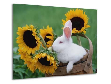 New Zealand Rabbit in Basket with Sunflowers, USA-Lynn M^ Stone-Metal Print