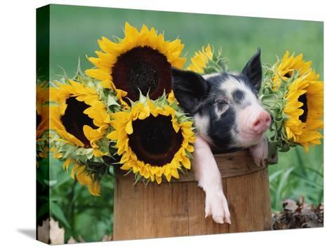 Mixed-Breed Piglet in Basket with Sunflowers, USA-Lynn M^ Stone-Stretched Canvas Print