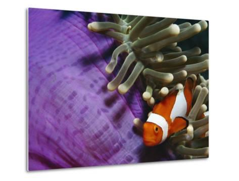 False Clown Anemonefish in Anemone Tentacles, Indo Pacific-Jurgen Freund-Metal Print