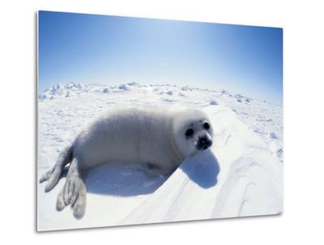 Harp Seal Pup on Ice, Magdalen Is, Canada, Atlantic-Jurgen Freund-Metal Print