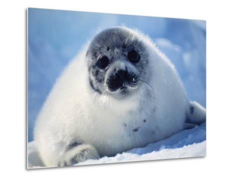 Harp Seal Pup on Ice at Start of Moult, Magdalen Is, Canada, Atlantic-Jurgen Freund-Metal Print