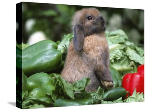 Holland Lop Domestic Rabbit-Lynn M^ Stone-Stretched Canvas Print