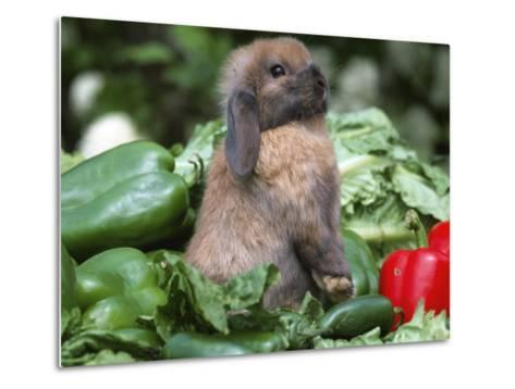 Holland Lop Domestic Rabbit-Lynn M^ Stone-Metal Print