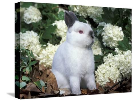 Netherland Dwarf Domestic Rabbit-Lynn M^ Stone-Stretched Canvas Print