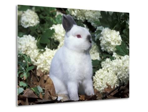 Netherland Dwarf Domestic Rabbit-Lynn M^ Stone-Metal Print