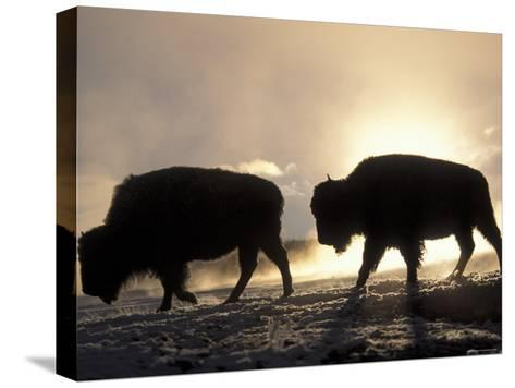 Two Bison Silhouetted Against Rising Sun, Yellowstone National Park, Wyoming, USA-Pete Cairns-Stretched Canvas Print