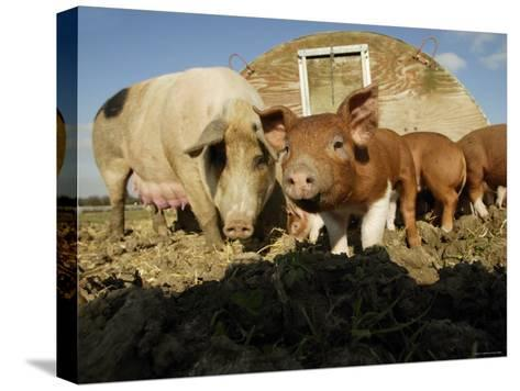 Free Range Organic Pig Sow with Piglets, Wiltshire, UK-T^j^ Rich-Stretched Canvas Print