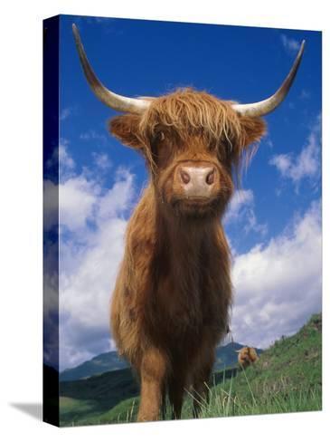 Highland Cattle Bull Portrait, Scotland, UK-Niall Benvie-Stretched Canvas Print