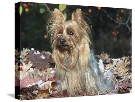 Yorkshire Terrier Dog, Illinois, USA-Lynn M^ Stone-Stretched Canvas Print
