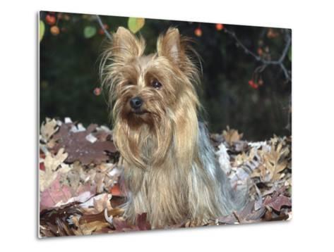 Yorkshire Terrier Dog, Illinois, USA-Lynn M^ Stone-Metal Print