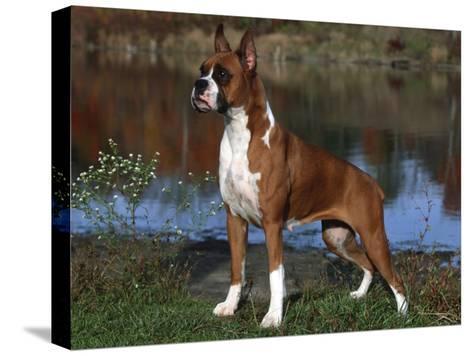 Boxer Dog, Illinois, USA-Lynn M^ Stone-Stretched Canvas Print